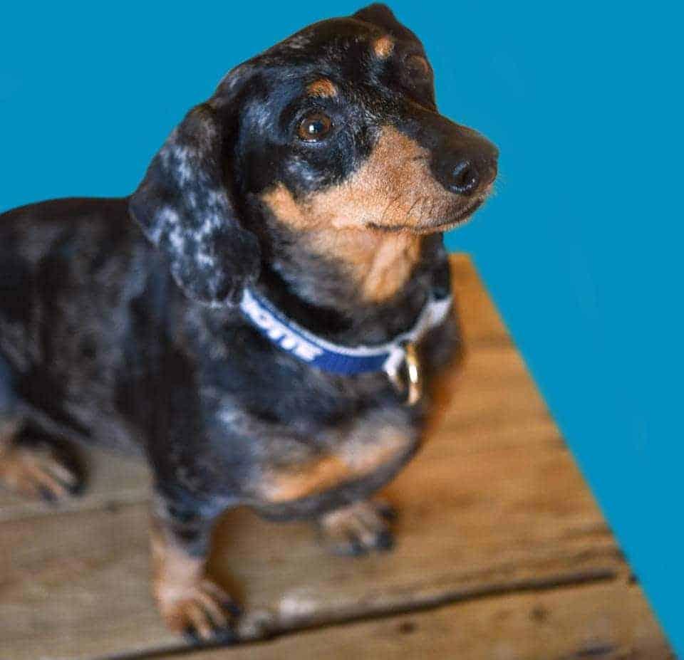 Griotte chien teckel sur table