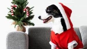 Chien avec habit de père Noël