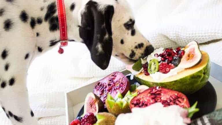 Dalmatien qui mange des fruits