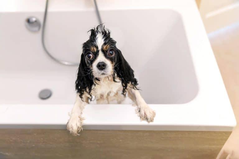 Cavalier king Charles mouillé dans un bain