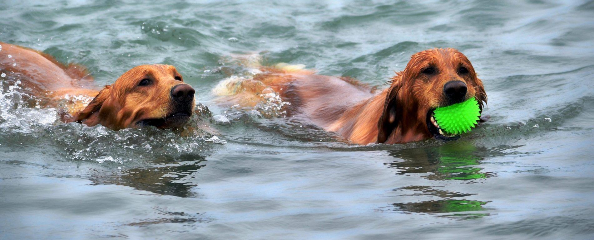 Deux chiens qui nagent. L'un des deux a une balle verte dans la gueule