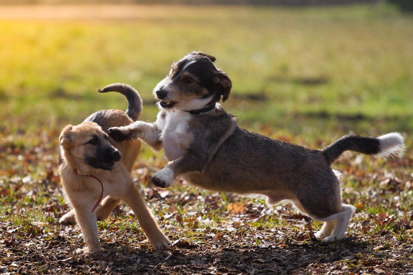 Chien brun qui joue avec un autre chien