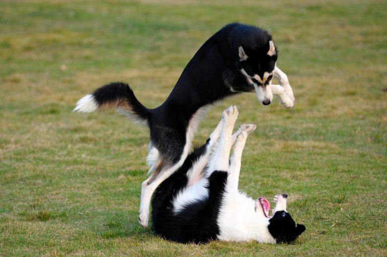 Deux chiens qui jouent par terre dans un parc