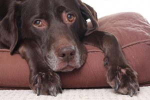 Vieux chien brun couché sur un coussin