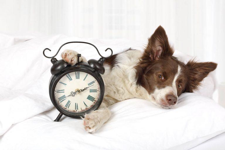 Chien brun et blanc couché avec un réveil-matin