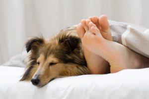 Chien Berger Shetland couché dans un lit à côté des pieds d'un humain