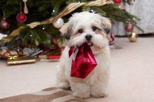 Chiot Lhassa apso devant sapin de Noël avec un cadeau rouge dans la gueule
