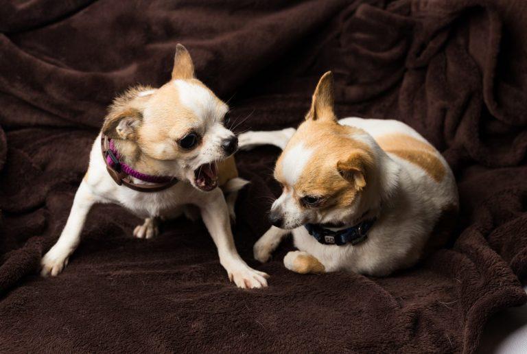Chihuahua réactif montre les dents à un autre chihuahua