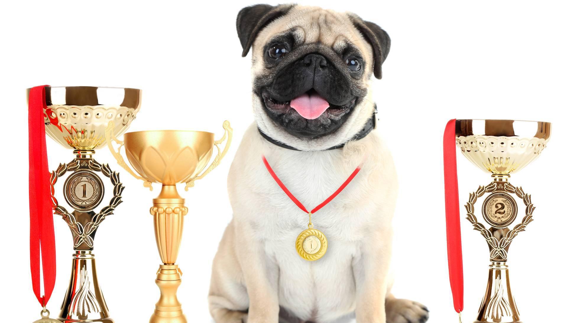 Chien héros Carlin médaillé avec trophées