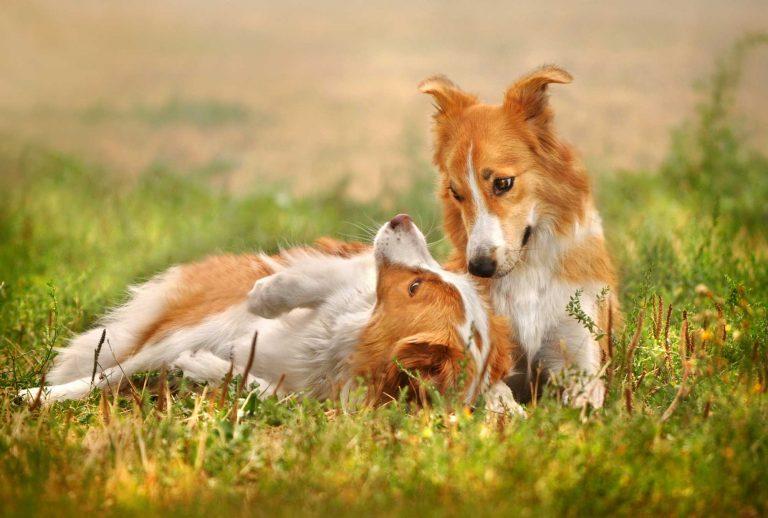 Deux chiens collés dans l'herbe