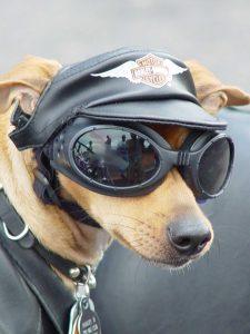 Chien avec lunettes de moto et casquette Harley Davidson