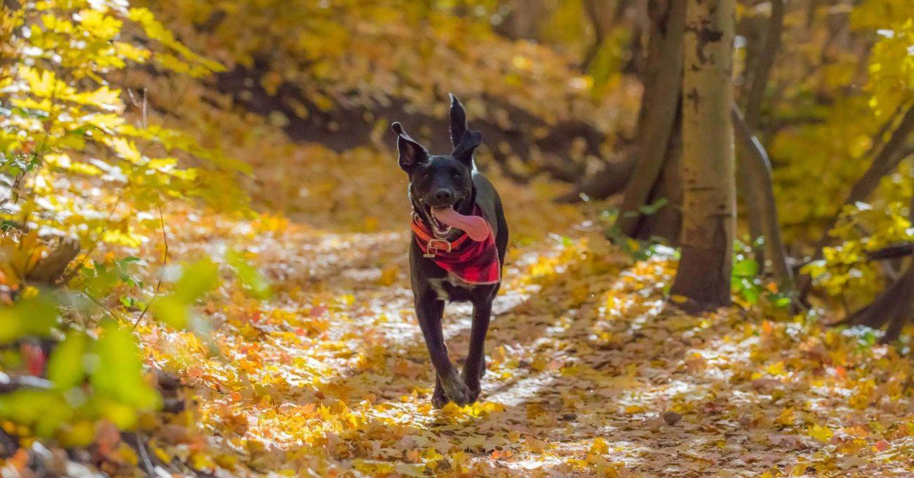 Chien noir adolescent qui court dans la forêt