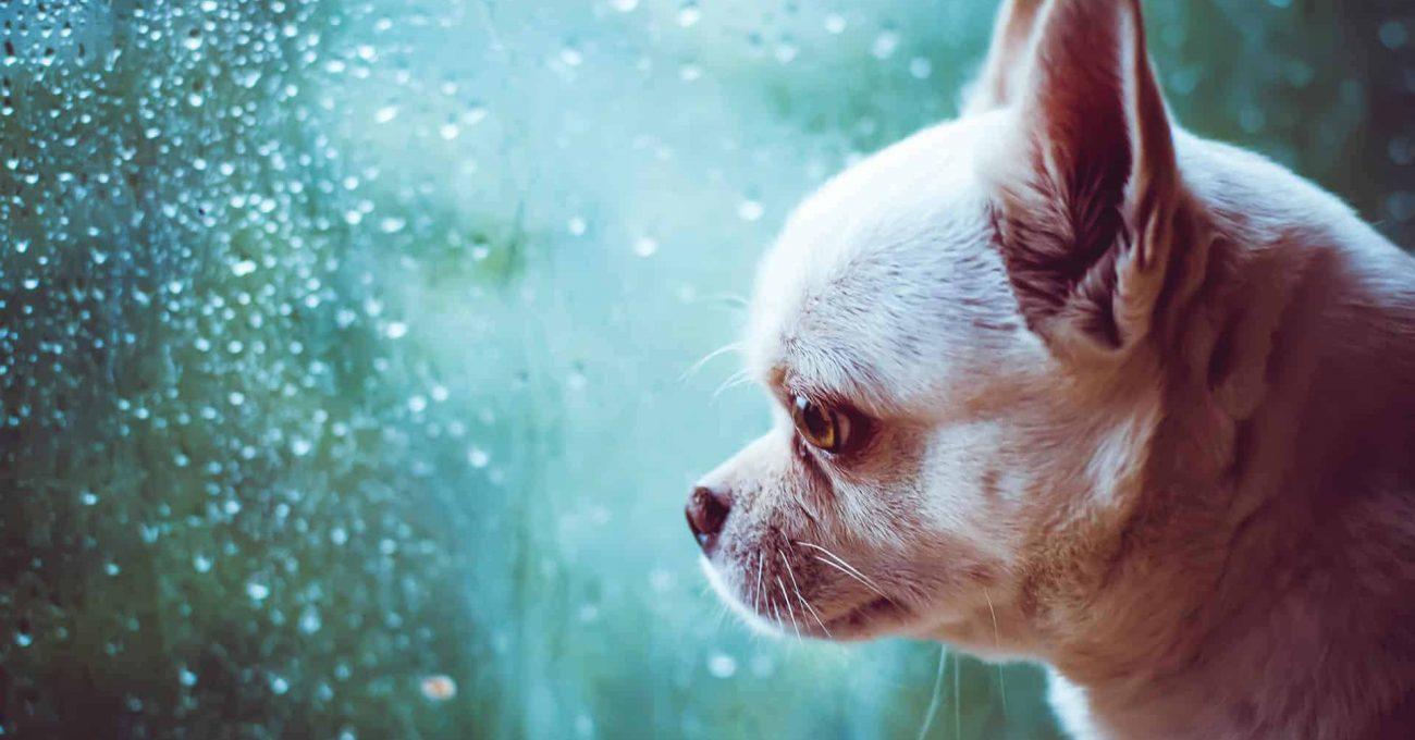 chien triste regarde par la fenêtre
