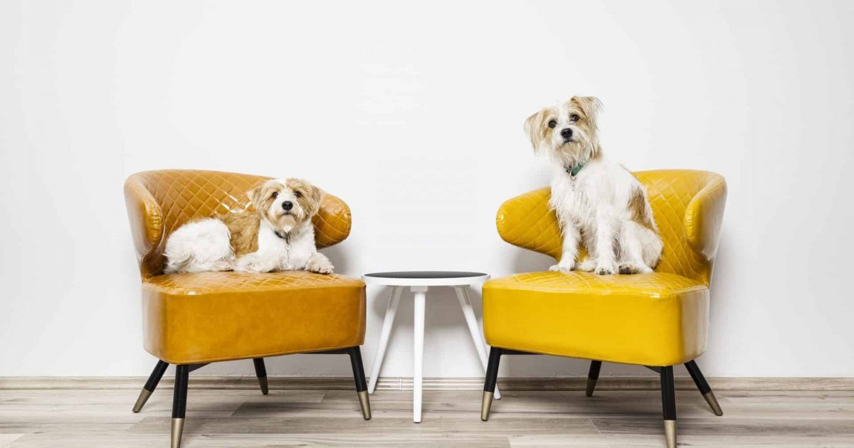 An image of two little dogs sitting on armchairs
