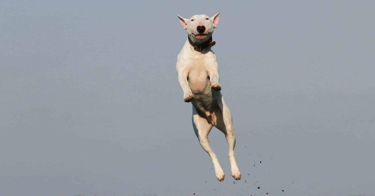 Chien qui saute joyeusement dans les air