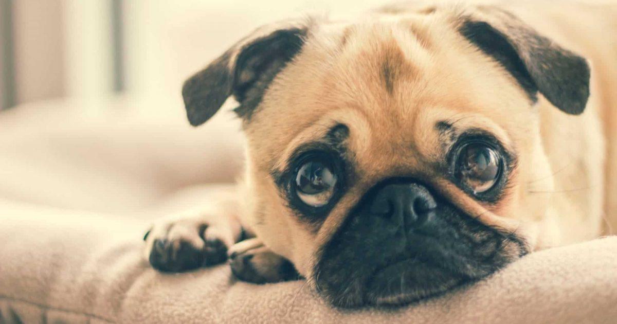 chien-triste